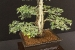 autumn-bonsai-show-at-capel-manor-college-x2