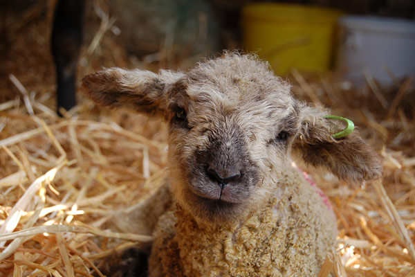 lambing-at-forty-hall-farm-01