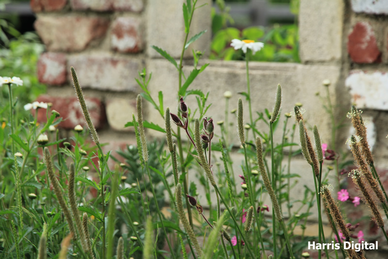 wildflower-turf-at-capel-manor-college-010