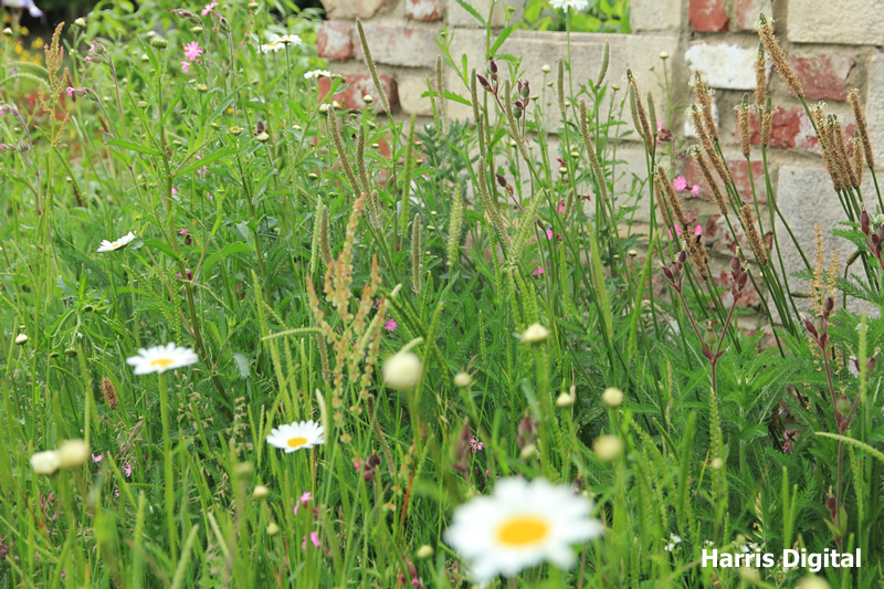 wildflower-turf-at-capel-manor-college-011