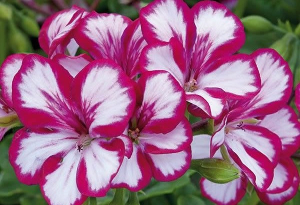 Pelargonium and Geranium Show