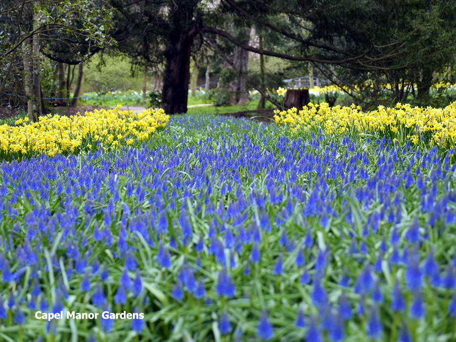 The Muscari river at Capel Manor Gardens