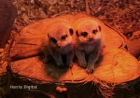 Baby meerkats at Capel Manor College and Gardens