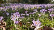 Crocuses galore!
