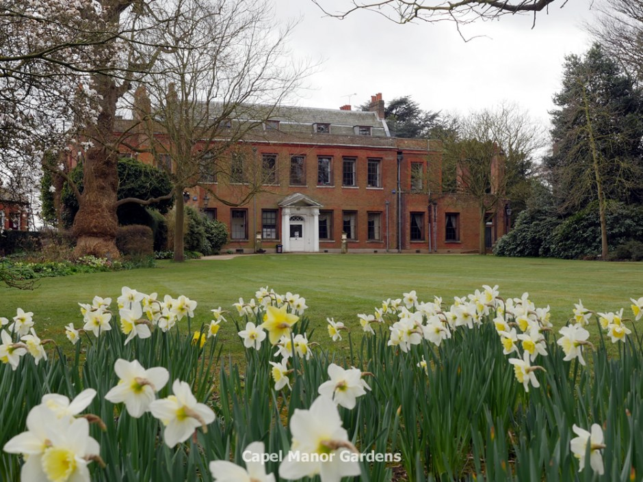 Daffodils in full bloom in the garden of the Manor House at Capel this afternoon.