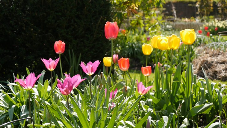 Garden Talk – top tips on planting your bulbs