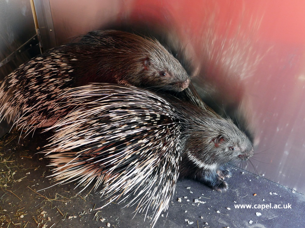 Two baby African Crested Porcupines