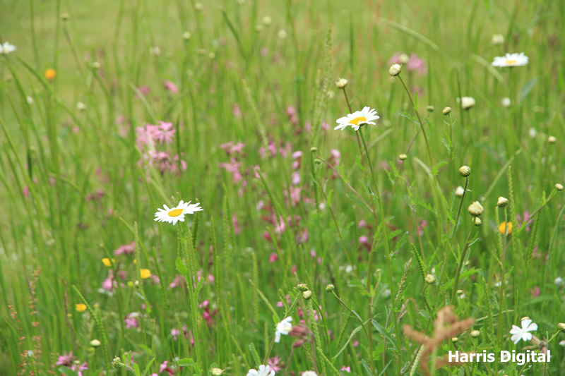 wildflower-turf-at-capel-manor-college-009