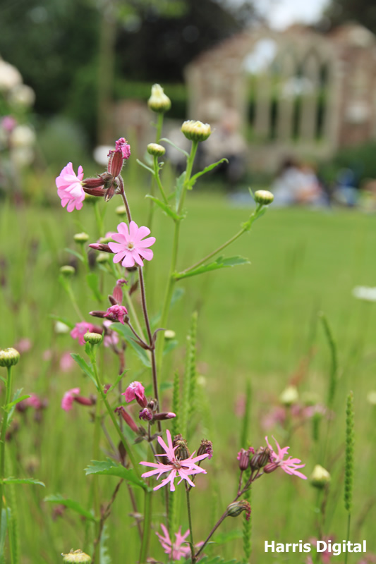 wildflower-turf-at-capel-manor-college-021