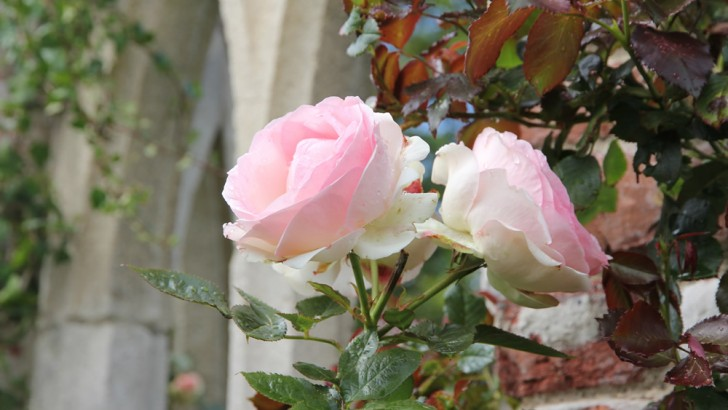 Getting to know old roses