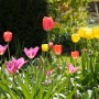 Blooming tulips at Capel Manor
